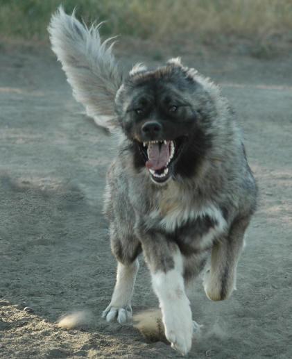 اقوى انواع الكلاب القوقازى قاتل