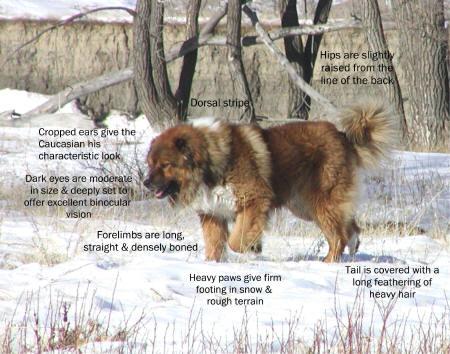Caucasian Ovcharka Russian Bear Dog
