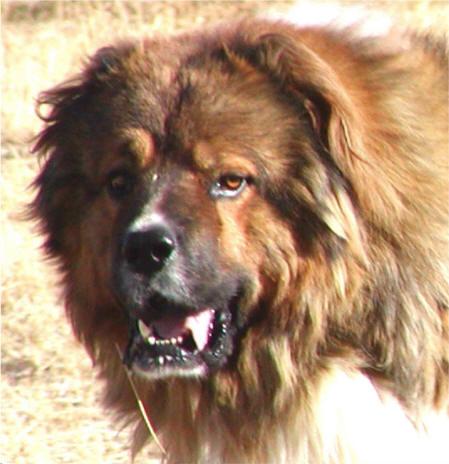 Half Dog Half Lion User posted image